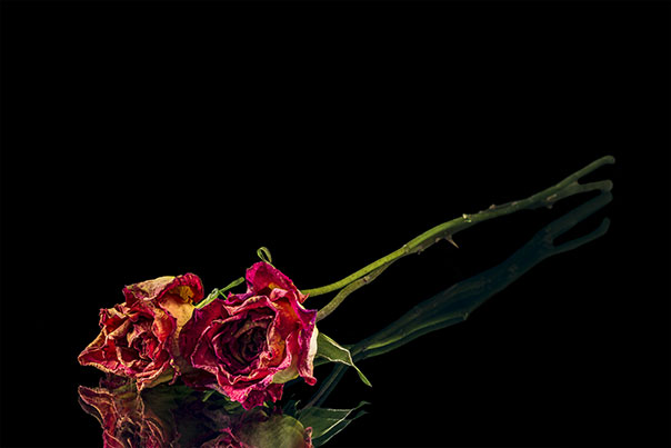 photo of withered roses on black background